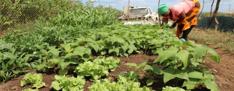 Farmers' indigenous seed multiplication plots a success